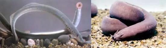 七鳃鳗(左) 盲鳗(右)(图片来源于网络)