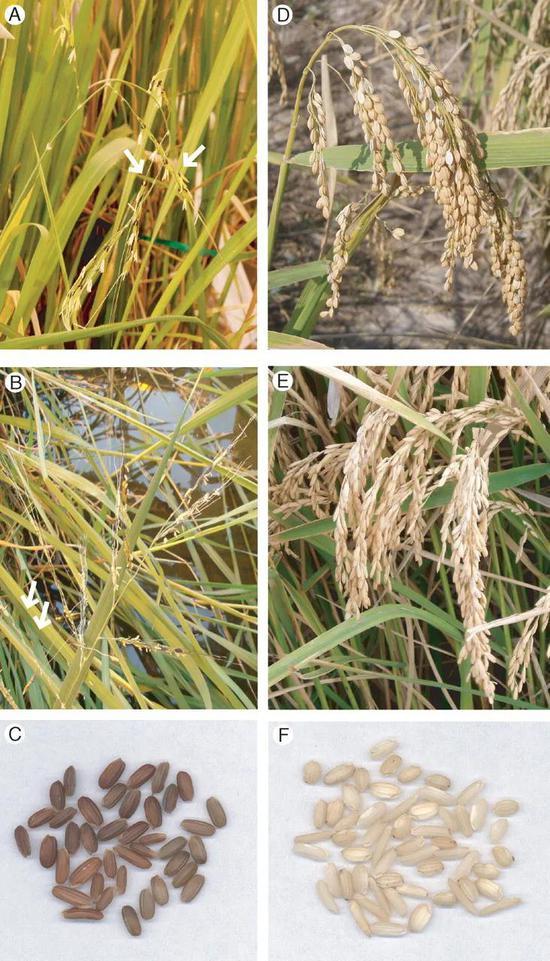 图3 水稻及其野生祖先的对比。A、B、C为野生稻的植株和种子,D和E分别为粳稻和籼稻,F为水稻的种子。(引自Sweeney和McCouch 2007年发表的文章)