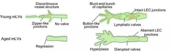 图4,年轻和年老小鼠脑膜淋巴管的形态变化。