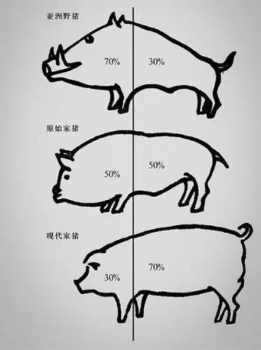 野豬馴化至家豬體型示意圖(圖片來源:http://www.sach.gov.cn/sach_tabid_1092/tabid/1094/InfoID/21620/Default.html)