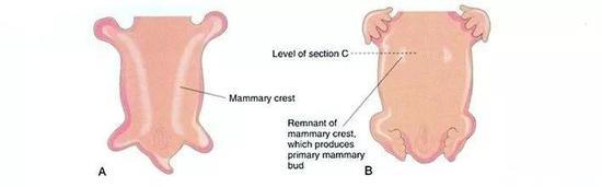 乳房發育示意圖,A中白線為乳嵴,B中白線為乳頭[5]