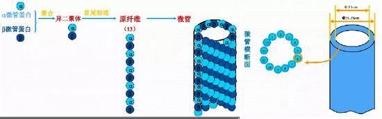 由α/β异二聚体微管蛋白构成的微管