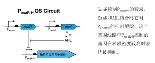 控制柚皮素合成竞争途径的基因线路(修改自Christina V。 Dinh et al。, 2019)