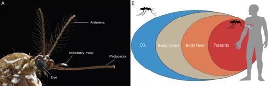 """图片来源:""""Genetic Analysis of Mosquito Detection of Humans。"""" Current opinion in insect science vol。 20 (2017): 34-38。"""