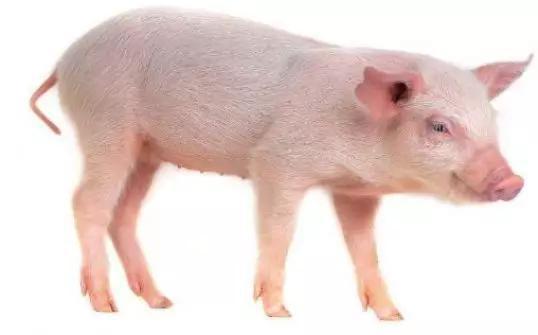 呆萌的家豬(圖片來源:http://www.newlynet.com/56883.html)