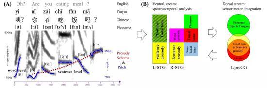 """图解:声调感知的脑机制模型:(A)普通话""""咦?你在吃饭吗?""""的语音频谱图(spectrogram)和音高轮廓(pitchcontour);(B)声调感知的腹侧通路(ventralstream,在听皮层,对声调进行声音分析和语义的辨认)和背侧通路(dorsalstream,在发音运动区域,对声调进行发音运动模拟)(Liang&Du,2018)"""