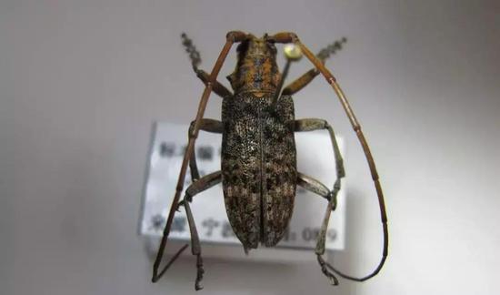 松墨天牛(Monochamus alternatus)是松材线虫在我国传播的主要帮凶,该种所在的墨天牛属亦有多种可携带并传播松材线虫。来源:宁波出入境检验检疫技术中心