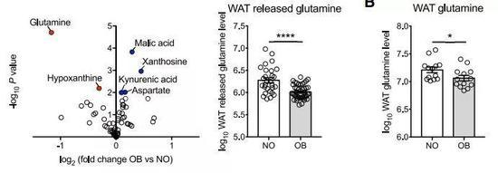 ▲谷氨酰胺是肥胖组与非肥胖组的白色脂肪组织中差异最大的代谢物
