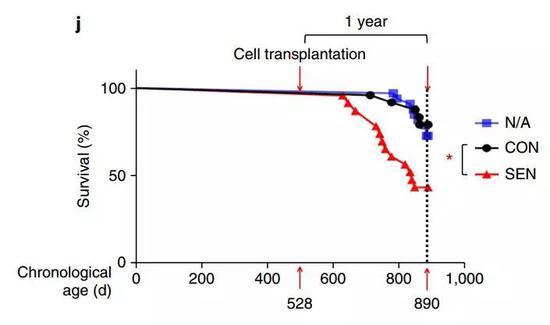 注射了衰老细胞的小鼠晚年不幸