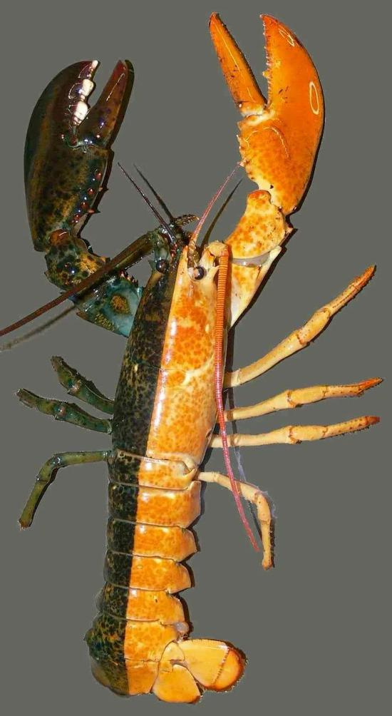 龙虾黄色的右边是雄性,绿褐色的左边是雌性| Richard Palmer, University of Alberta