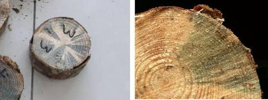"""死于松材线虫的松树纵切面,沿木射线生长的蓝色真菌呈放射状的""""蓝变""""。图片来源:宁波检验检疫技术中心"""