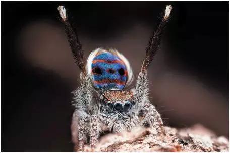雄性孔雀蜘蛛(Maratus speciosus)的求偶舞。有些物种雌性和雄性个体的区别很大,如雄性孔雀蜘蛛就要比雌性色彩斑斓得多。