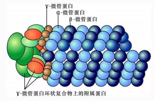 γ微管蛋白成核作用示意图