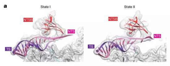 ▲CasX含有一个参与目标DNA解螺旋的结构域NTSB,是剪切双链DNA不可或缺的(图片来源:参考资料[1])
