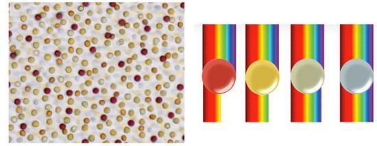 光学显微镜下看到的视锥细胞脂肪液滴,它们起到的滤镜作用(图片来源于网络)
