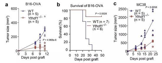 单独敲除YTHDF1,对各种癌细胞生长的影响