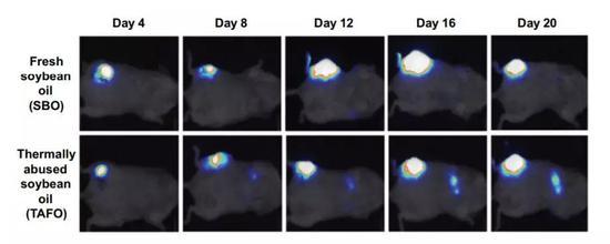 """▲摄入""""回锅油""""后,小鼠的肿瘤在短期内发生了转移(如第二行系列图片所示)(图片来源:《Cancer Prevention Research》)"""