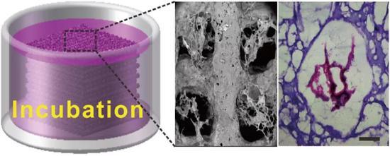 图5 小鼠成纤维细胞在水凝胶支架正常增殖并粘附。标尺为200 μm。