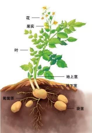 图2 马铃薯植株示意图