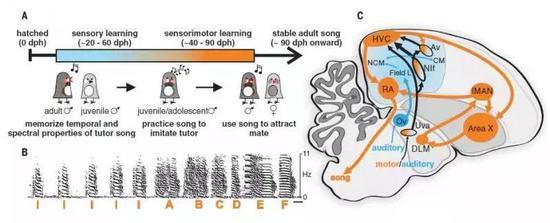 斑胸草雀学习唱歌的神经元电路图 ( A 幼年草雀学习唱歌的时间表;B 成年草雀唱歌的频率谱图;C 听觉(蓝色)和神经元电路(橙色)示意图)