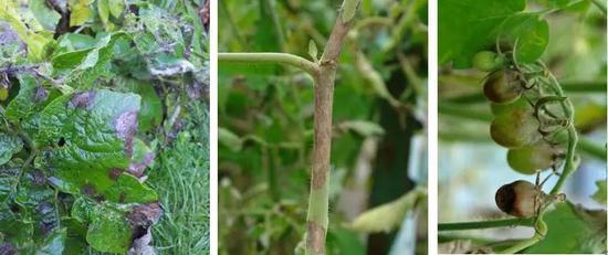 感染晚疫病的番茄葉(左)、莖(中)、果(右)