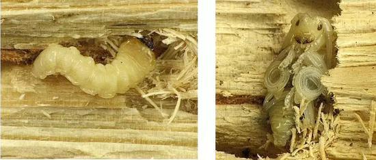 待到天牛羽化成熟时,就带着松材线虫去浪迹天涯,开启新的征程。松墨天牛宝宝。左:幼虫 右:离蛹 图片来源:波兰国家植保所