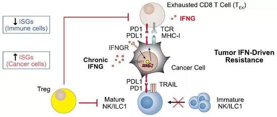 ▲肿瘤细胞通过干扰素信号对免疫疗法产生耐药(图片来源:参考资料[1])