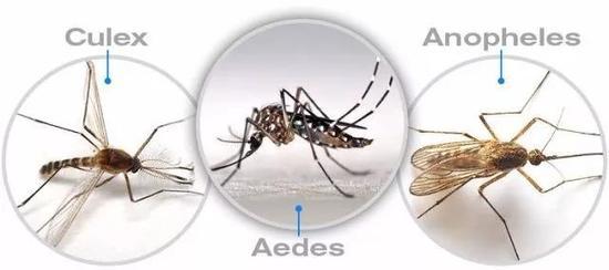 图1三类可传播疾病的蚊虫外形特征。从左至右:库蚊(身体多棕褐色,翅膀无斑点)、伊蚊(身体黑色有白斑,翅膀无斑点)、按蚊(身体灰褐色,翅膀多有黑白斑),http://blog.healthgenie.in.gc518.cc/