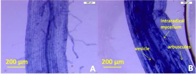 图6 A为未被真菌Rhizophagus irregularis侵染的蒲公英根系;B为侵染后的根系,其中可见丛植菌根的典型结构:丛枝(arbuscule);泡囊(vesicle);以及根内菌丝(intraradical mycelium)(图片引自文献3 )