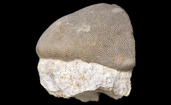 达尔文采集的滨珊瑚属珊瑚(Poritescoral)标本   伦敦自然博物馆藏品
