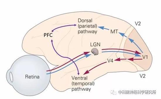 图4。视觉信息经视网膜(Retina),视神经,外侧膝状体(LGN)进入初级视觉皮层(V1,V2),这个信息传递过程是并行的,主要可分为腹侧通路(ventral pathway,红色实线)和背侧通路(dorsalpathway,蓝色实线)。腹侧通路主要处理和形状、颜色等相关的物体识别信息;而背侧通路主要处理和运动相关的信息。这些信息会汇合到更高级的额叶(PFC)、顶叶皮层(parietalarea)。这些区域的神经元会综合各种信息,结合你的注意力,指导你做出决定。(图片来源,改编自Eric R。 Kandal等人著 lt;Principlesof Neuroscience gt;,5th ed)