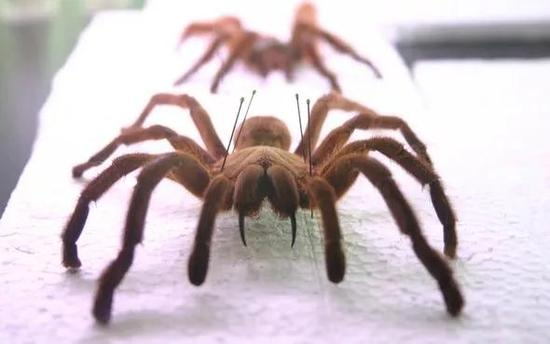 最大的蜘蛛Theraphosa blondi