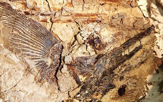 △DePalma宣称在Tanis发现了大量保存完好的新物种化石。他在堪萨斯大学的博士论文导师David Burnham表示,Tanis挖掘点够专家们忙上50年的了(来源:《纽约客》)