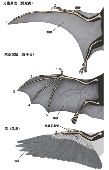 三種脊椎動物動力飛行的結構(圖片來源: 互動科普)