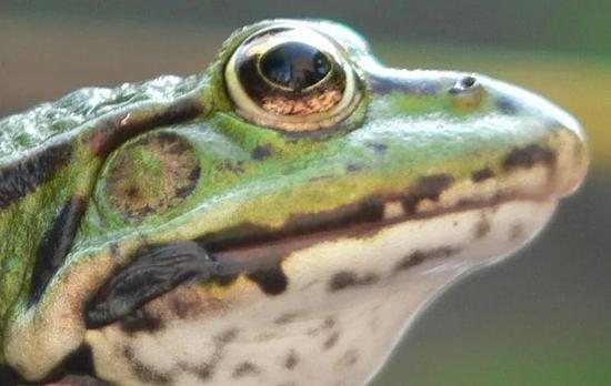 来源:科学大院   儿子:什么是两栖动物?   爸爸:青蛙就是两栖动物啊,小蝌蚪在水里生活,长大了变成青蛙在陆地上生活,这就是两栖动物啊。   儿子:那鳄鱼也是两栖动物吗?   爸爸:鳄鱼是爬行动物。   儿子:鳄鱼不是又能在水里生活,又能在陆地上生活吗?   爸爸:   儿子:娃娃鱼也会爬啊,它是爬行动物吗?   爸爸:娃娃鱼是两栖动物。   儿子:那两栖动物和爬行动物究竟有什么区别啊?   爸爸:   两栖纲与爬行纲动物确实是比较难分辨的两类动物,很多人面对这些问题的时候会经常发懵。从生