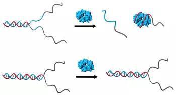 图 DNA片段与肿瘤细胞特有蛋白质的结合