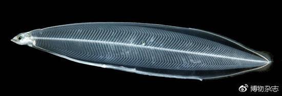 鳗鲡的柳叶状幼体。内脏简单到几乎没有。来源:wikiwand.com
