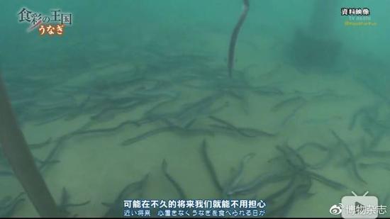 日本实验室里人工繁育长大的鳗鱼。来源:《食彩之国》