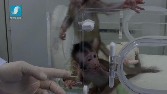 首例体细胞克隆猴诞生!对研究人类脑疾病有重大意义
