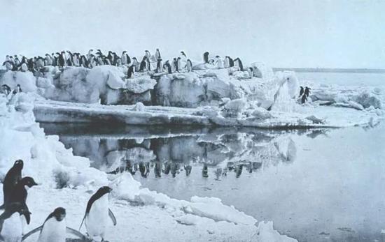 阿德利企鹅,列维克摄于1911年。图源:国家海洋和大气管理局/公有领域