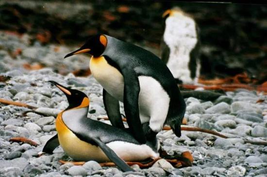 两个雄性帝企鹅正在交配。图源:Brocken Inaglory / CC BY-SA 3.0