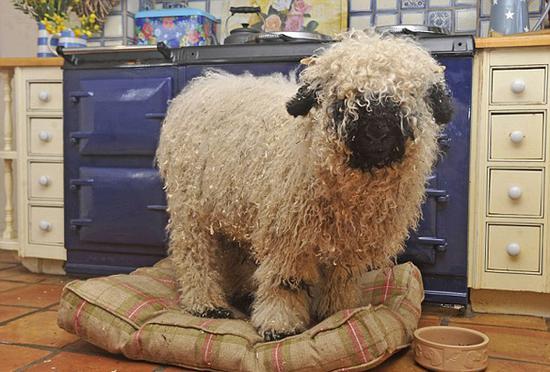 英山羊遇认知问题 不喜吃草睡狗窝似犬类