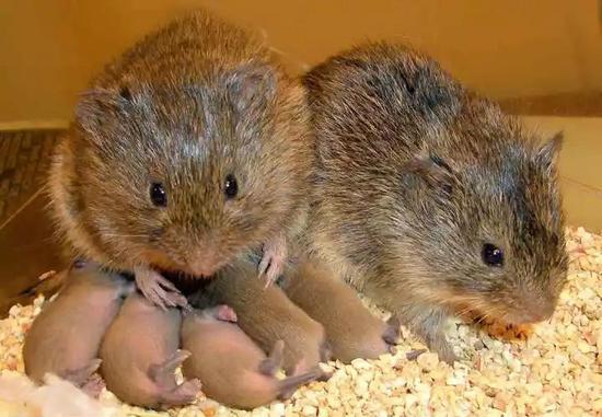 草原鼠:在一雄一雌的配偶制中,雄性草原鼠有超过60%的时间会陪护在有幼崽的巢穴中。图源:Todd Ahern