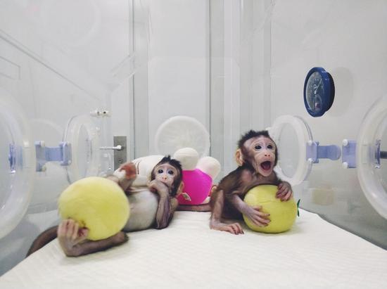 首只体细胞克隆猴在中国诞生 促进自闭症等新药研发