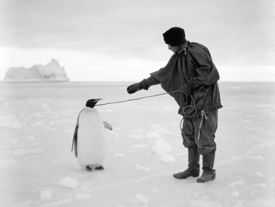 1911年4月1日,与乔治·默里·列维克同行的厨师托马斯·克利索尔德(Thomas Clissold)用绳子拴着一只帝企鹅。图源:HERBERT PONTING/SCOTT POLAR RESEARCH INSTITUTE, UNIVERSITY OF CAMBRIDGE/GETTY IMAGES1911年4月1日,与乔治·默里·列维克同行的厨师托马斯·克利索尔德(Thomas Clissold)用绳子拴着一只帝企鹅。图源:HERBERT PONTING/SCOTT POLAR RESEARCH INSTITUTE, UNIVERSITY OF CAMBRIDGE/GETTY IMAGES