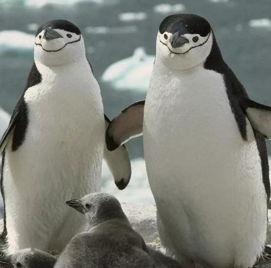 雄性帽带企鹅伴侣罗伊和西罗。图源:J。 Carson Writes