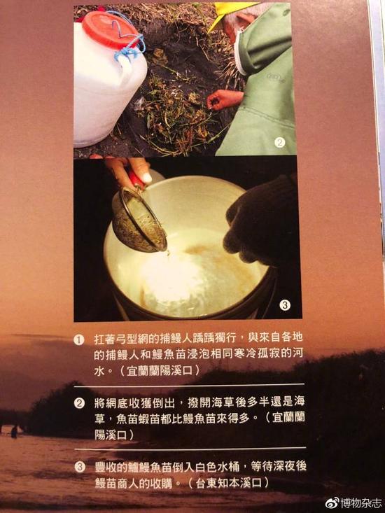 台湾渔民捕捞鳗苗。这里有日本鳗鲡的苗,还有花鳗鲡的苗。来源:《河口野学堂》