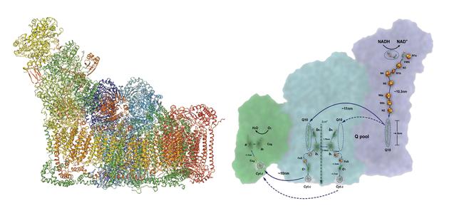 图三 呼吸体结构模型