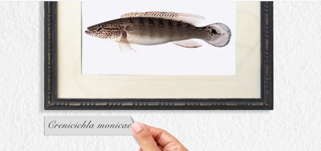 华莱士于1852年在亚马逊盆地采集了这种鱼类的标本,库兰德将其命名为Crenicichla monicae。