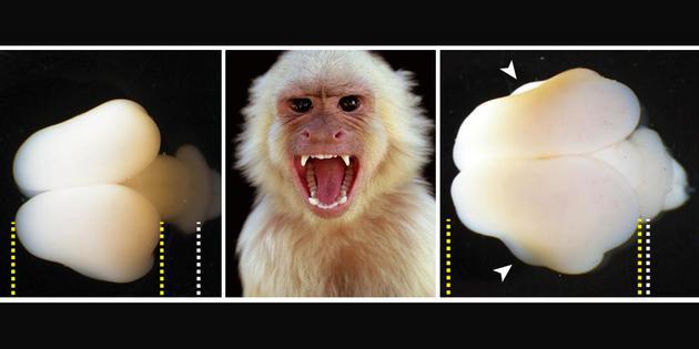 """""""人猿星球""""或将成现实?人类基因植入猴脑后变得更强大!"""